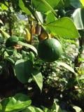 De citroenboom is in de pot Stock Afbeelding