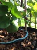 De citroenboom is in de pot Stock Foto