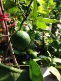 De citroenboom is in de pot Royalty-vrije Stock Foto