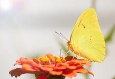 De citroengele Wolkenloze vlinder van de Zwavel Royalty-vrije Stock Afbeelding