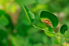 De citrusvruchtenkanker op een kalkblad is schade door van geringe kwaliteit van fruit wordt veroorzaakt dat royalty-vrije stock fotografie