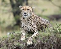 De close-up frontview van één het volwassen jachtluipaard liggen die bovenop een gras rusten behandelde hoop Stock Afbeelding