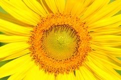 De zonnebloem van het close-up Royalty-vrije Stock Fotografie