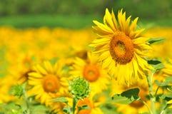 De zonnebloem van het close-up Stock Foto
