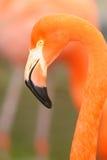 De close-up hoofdschot van de flamingo Stock Foto