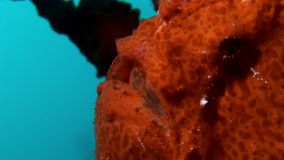 De close-up macro video onderwater van de vissenvisser op zeebedding in de Maldiven stock footage