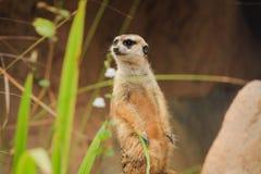 De close-up Meerkat bevindt zich leeg in het bospark stock fotografie