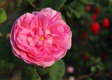 De close-up de Provence nam toe of de kool nam of Rose de Mai Centifolia in de organische tuin met vaag gebladerte toe aard en Royalty-vrije Stock Fotografie