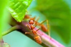 De Close-up rode mier van de close-up rode mier met vage lichte achtergrond stock afbeeldingen