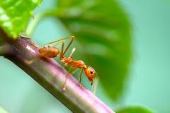 De Close-up rode mier van de close-up rode mier met vage lichte achtergrond royalty-vrije stock afbeeldingen