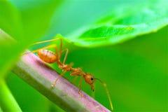 De Close-up rode mier van de close-up rode mier met vage lichte achtergrond stock foto