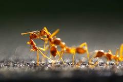 De Close-up rode mier van de close-up rode mier met vage lichte achtergrond stock fotografie