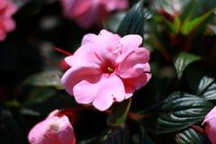 De close-up, Roze begoniabloem is bloeiend in de zo zeer mooie tuin royalty-vrije stock foto's