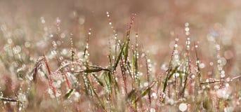 De close-up roze gras van de Panoranicmening met druppeltjes van dauw in de ochtendzon stock afbeeldingen