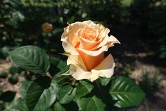 De close-up van één perzik gekleurde bloem van nam toe Royalty-vrije Stock Foto