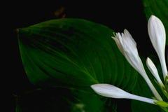 De close-up van bloemgastheren Witte bloemgastheren Stock Foto's