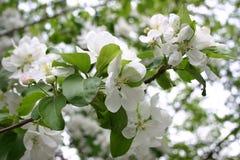De close-up van de Bloesem van de appel stock afbeelding