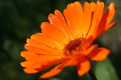 De close-up van Calendula Royalty-vrije Stock Afbeelding