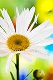 De close-up van Daisy met kleurrijke Achtergrond Royalty-vrije Stock Afbeeldingen