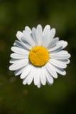 De close-up van Daisy over donkergroene achtergrond. Stock Foto's