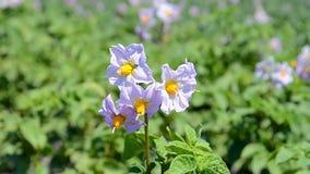 De close-up van de aardappelbloesem, de zomermilieu, stock videobeelden