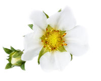 De close-up van de aardbeibloem op een achtergrond wordt geïsoleerd die Royalty-vrije Stock Afbeeldingen