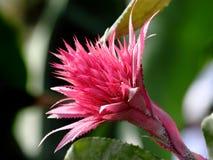 De close-up van de agave Royalty-vrije Stock Foto