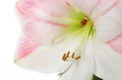 De close-up van de amaryllis royalty-vrije stock foto's