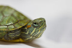 De close-up van de babyschildpad Stock Fotografie