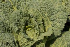 De close-up van de boerenkool Stock Afbeelding