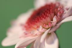 De close-up van de chrysant Stock Afbeeldingen