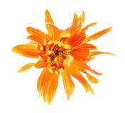 De close-up van de chrysantenbloem royalty-vrije stock fotografie