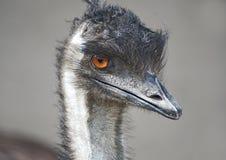 De Close-up van de emoe Stock Foto's