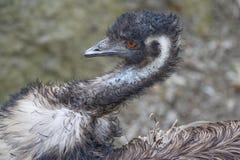 De Close-up van de emoe Royalty-vrije Stock Afbeeldingen