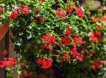 De close-up van de geraniuminstallatie Royalty-vrije Stock Fotografie