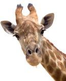 De close-up van de giraf