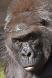 De close-up van de gorilla Stock Afbeeldingen