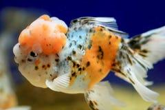 De close-up van de goudvis Royalty-vrije Stock Afbeeldingen