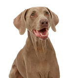 De Close-up van de Hond van Weimaraner Stock Afbeeldingen