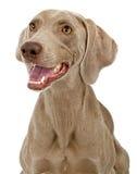 De Close-up van de Hond van Weimaraner Royalty-vrije Stock Afbeeldingen