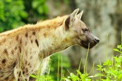 De close-up van de hyena Stock Foto's