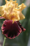 De Close-up van de iris Royalty-vrije Stock Afbeelding