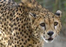 De Close-up van de jachtluipaard Stock Afbeelding