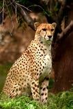 De close-up van de jachtluipaard Royalty-vrije Stock Foto