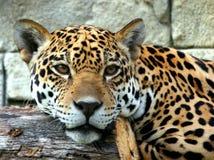 De Close-up van de jaguar stock afbeelding