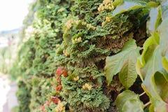 De close-up van de jeneverbessenboom Royalty-vrije Stock Foto's