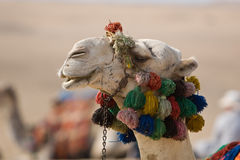 De Close-up van de kameel Stock Fotografie