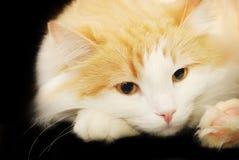 De close-up van de kat Royalty-vrije Stock Afbeelding