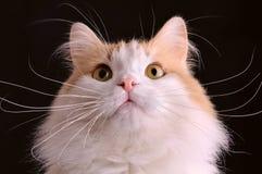 De close-up van de kat Stock Afbeelding