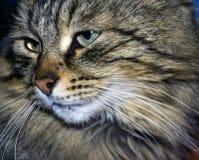De close-up van de kattensnuit royalty-vrije stock afbeeldingen